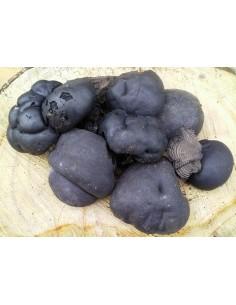 Daldinia concentrica - Bola de carbón - Cramp ball
